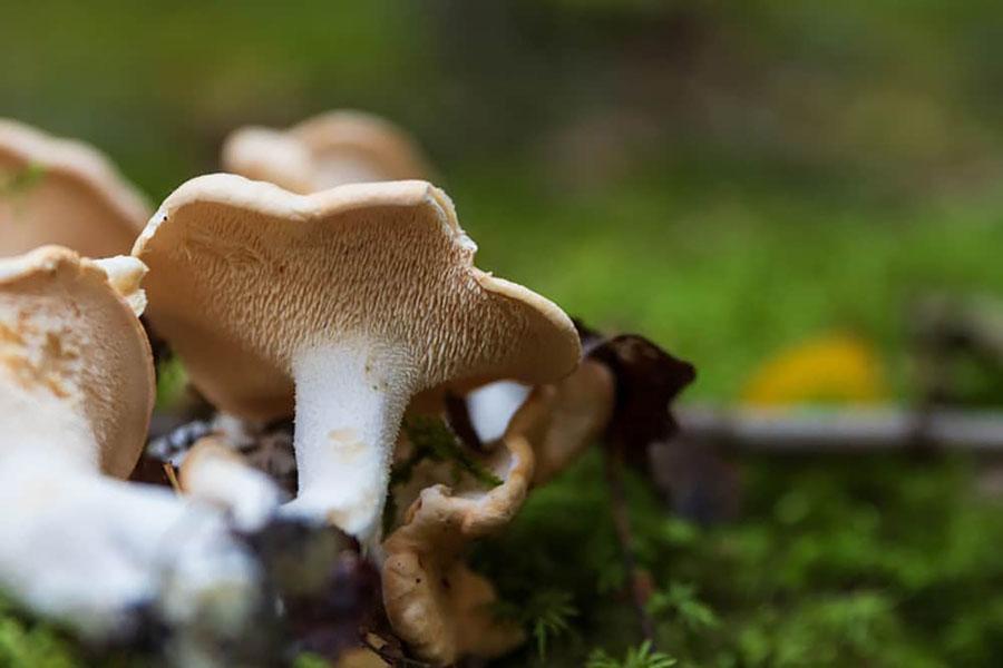 Champignons - Pied de mouton